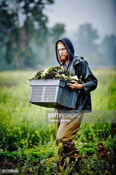 Farmer carrying bin of lettuce across field