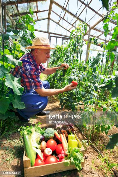 farmer carrying crate with tomatoes and organic vegetables - organic farm stock pictures, royalty-free photos & images
