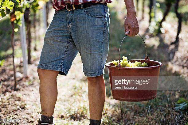 Farmer carrying grapes in bucket at vineyard