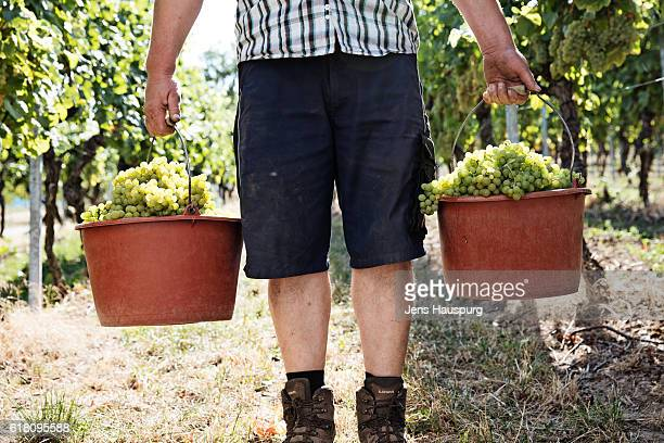 Farmer carrying grapes in buckets at vineyard