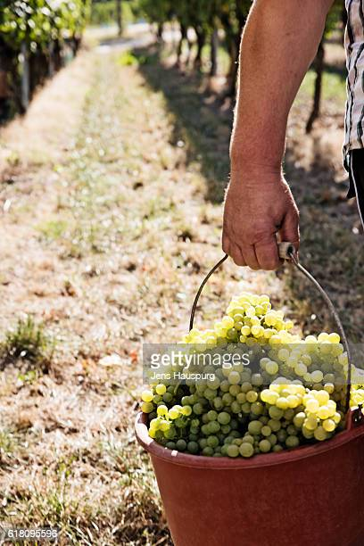 Farmer carrying grapes in buckets