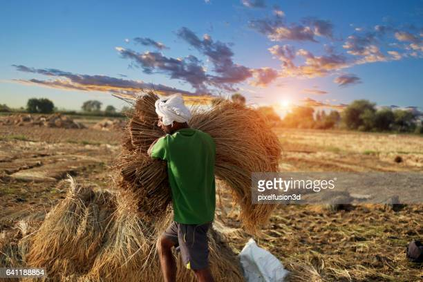 Farmer carrying rice paddy bundle for harvesting