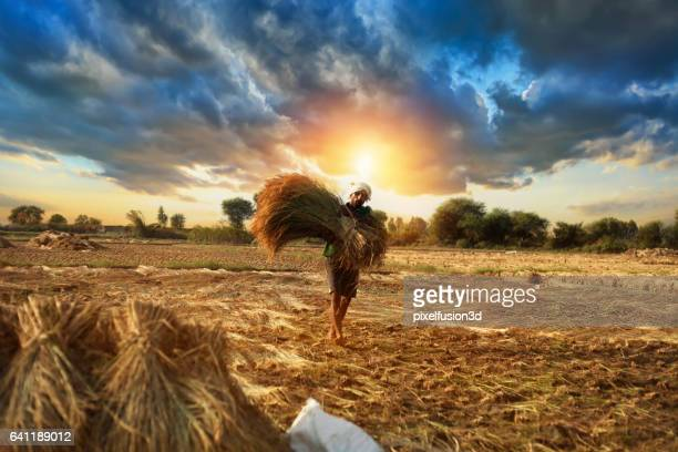 farmer carrying rice paddy bundle for harvesting - indian culture stock pictures, royalty-free photos & images