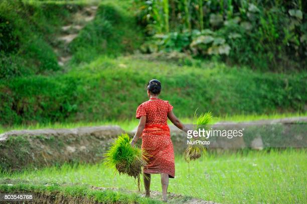 A farmer carrying rice sapling for the Plantation during the celebration of National Paddy Day quotASHAD 15quot at Chhampi Patan Nepal on Thursday...