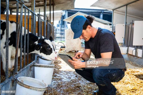 farmer checking calf with digital tablet app - livestock stock pictures, royalty-free photos & images