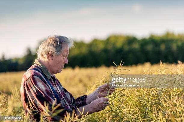 農家がキャノーラ畑をチェックしてる - キャノーラ ストックフォトと画像