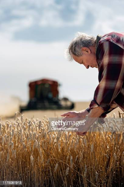farmer checking his wheat field. - denmark stock pictures, royalty-free photos & images