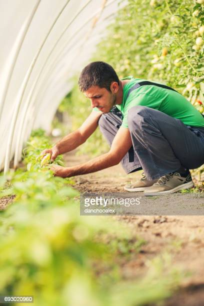 Farmer checking hot peppers in the green house