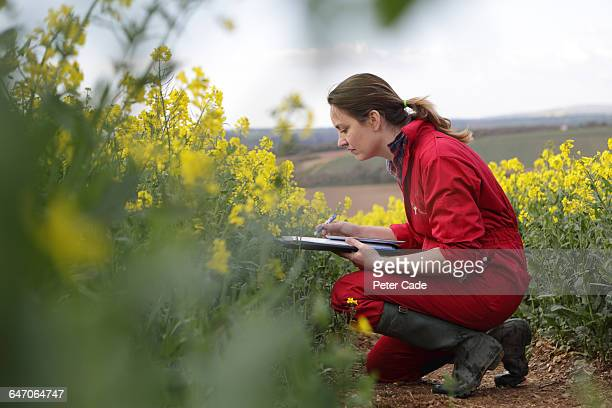 Farmer checking oil seed rape in field