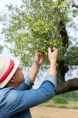 man farmer worker checking olive tree