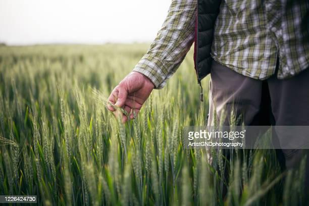 boer die de kwaliteit van zijn tarwegewassen controleert. - veld stockfoto's en -beelden