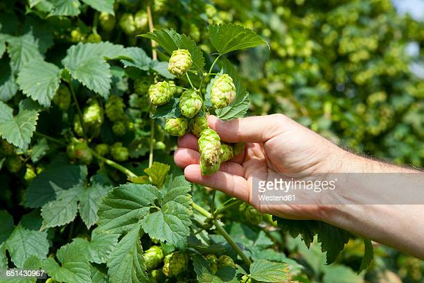 Farmer checking quality of hops