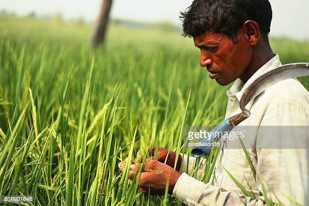 Farmer Checking Rice Paddy Crop