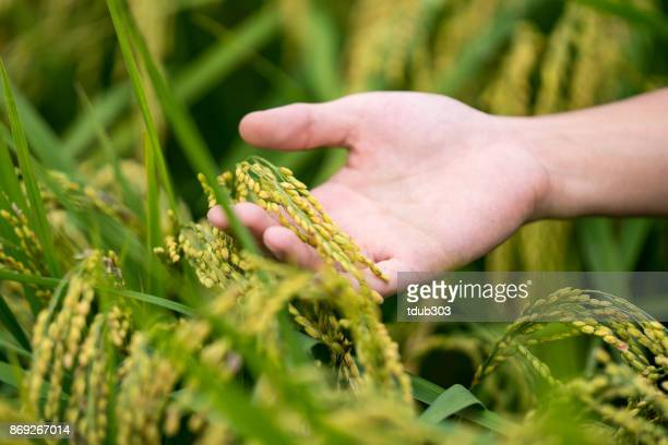 彼のコメの作物の状態をチェックする農家 - 水田 ストックフォトと画像