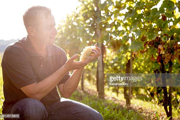 Farmer Checking the Quality of his Grapes crop