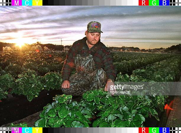 Farmer Chuck Bailey looks over his ice covered strawberry field in Lakeland Florida early 19 January Bailey used water sprinklers to form a...
