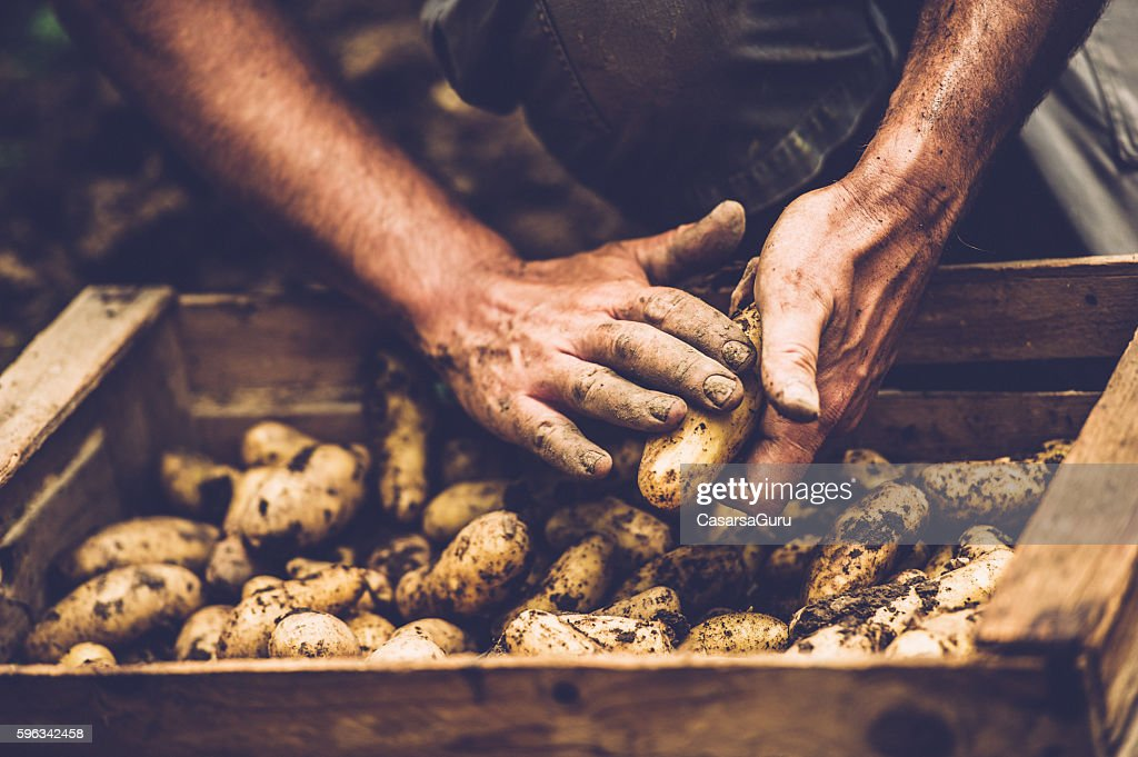 Farmer Cleaning His Potatoe with Bare Hands : Stock Photo