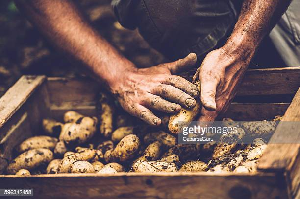 farmer cleaning his potatoe with bare hands - rauwe aardappel stockfoto's en -beelden