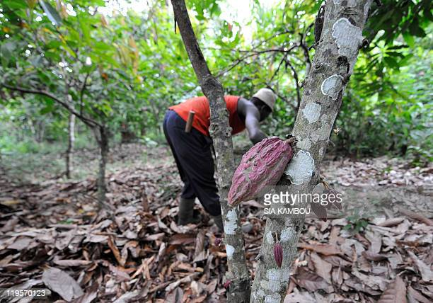 A farmer cleans a cocoa plantation on July 13 2011 in Gonate Facing with aging orchards Swiss World Food giant Nestle began an extensive renewal...