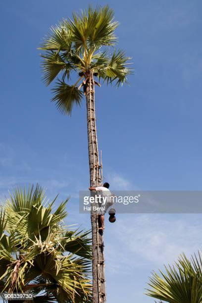 Farmer climbs primitive ladder to harvest palm sap
