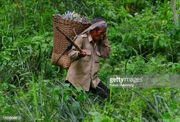 A farmer collect freshly harvested pineapple inside a Wicker basket in the outskirts Northeastern state as part of begin harvest amid covid19...