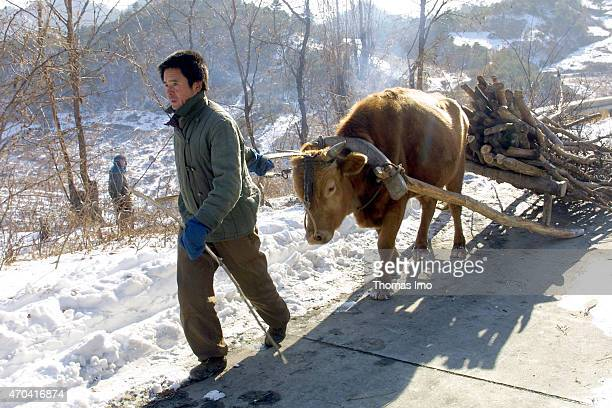 Farmer collected firewood and takes it back to his village with an ox cart on December 06 2001 in Wonsan North Korea Photo by Thomas Imo/Photothek...