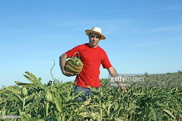 farmer collecting artichokes in a field - ムルシア市 ストックフォトと画像