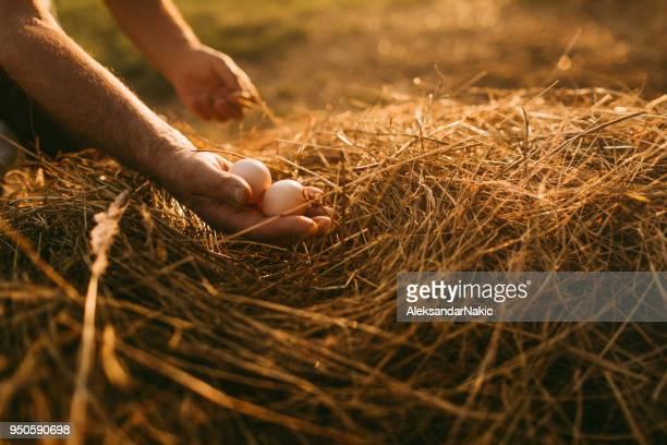agricultor que recoge huevos orgánicos - huevo etapa de animal fotografías e imágenes de stock