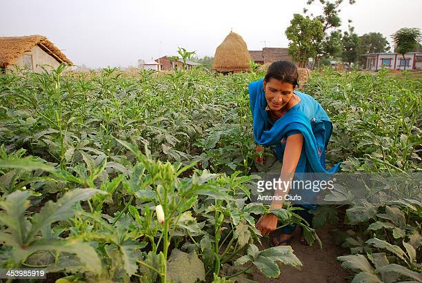 Farmer collecting vegetables in a field near Kalyanpur, southern Nepal. Around the world volunteers are demonstrating the power of volunteer service...