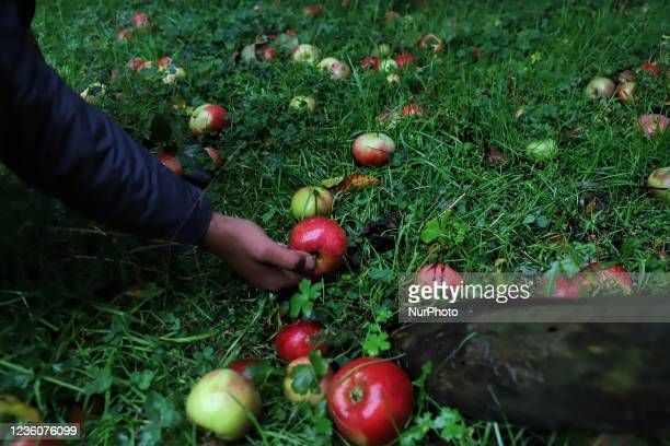 Farmer collects Apples which fell due to rainfall in an Orchard in Sopore, District baramulla, Jammu and Kashmir, india on 23 october 2021. Light to...