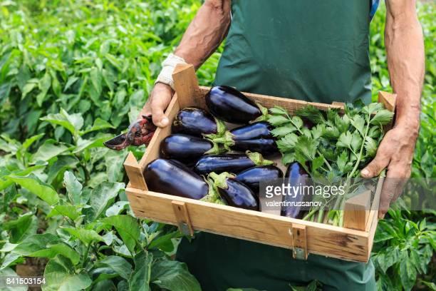 Granjero recoge berenjenas frescas en una granja orgánica