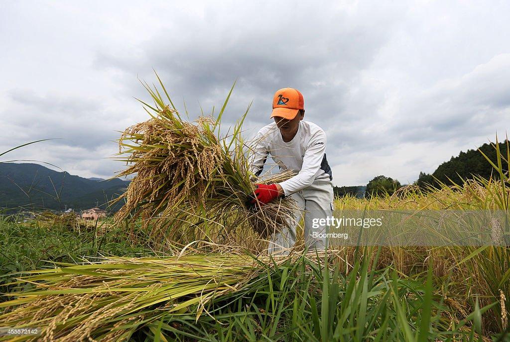 Farmers Harvest Rice In Paddy Fields As Harvest Season Peaks : News Photo