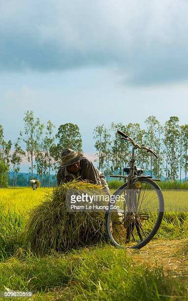 Farmer collects hay from the rice field