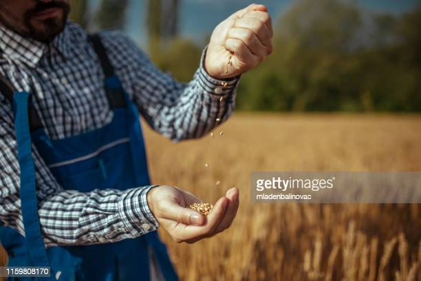 farmer control his wheat cultivation field. - seed stock pictures, royalty-free photos & images