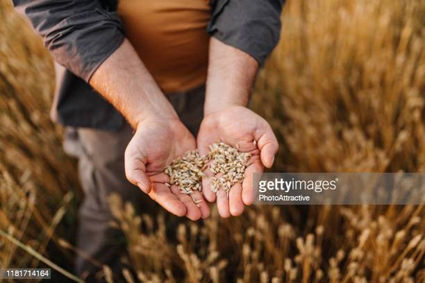 farmer controlled harvest in his field - cereal plant stock pictures, royalty-free photos & images
