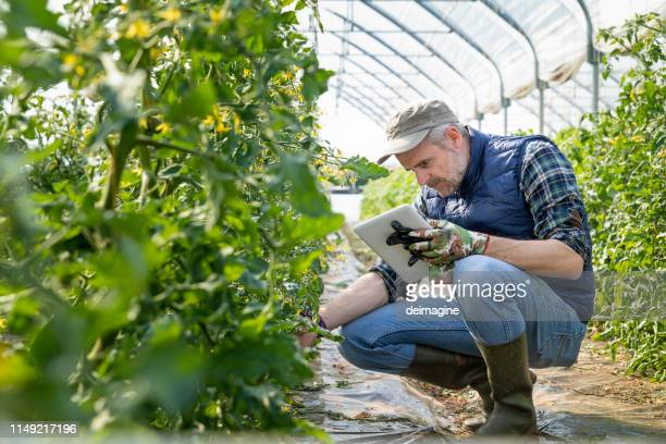 farmer controlling tomato seedlings with digital tablet in the greenhouse - botany stock pictures, royalty-free photos & images