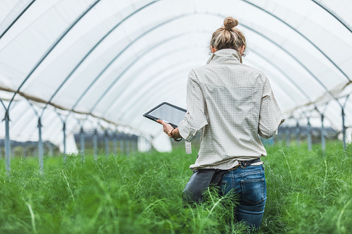 Farmer controlling vegetables in greenhouse 952845104