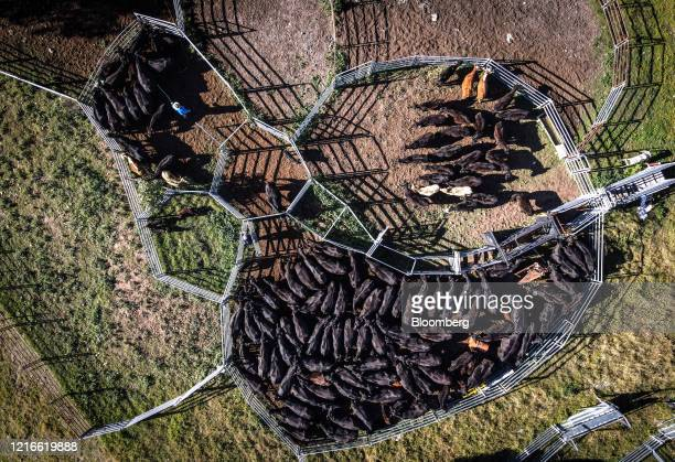 Farmer corrals cows into a cattle pen in this aerial photograph taken over a farm in Gunnedah, New South Wales, Australia, on Friday, May 29, 2020. A...
