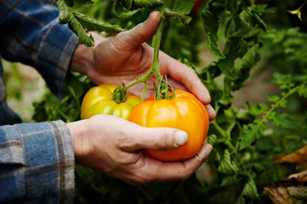 farmer cradling organic heirloom tomatoes on vine picture id131289200?k=6&m=131289200&s=612x612&w=0&h=Qt7Ina4U01yyAZE3awOj1Nc EAyZpyXRGcBU5oL4mvM=