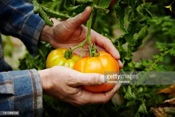 Farmer cradling organic heirloom tomatoes on vine