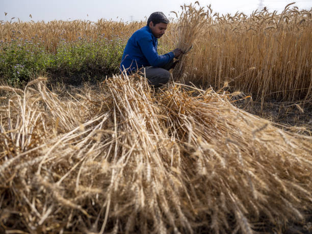 IND: Wheat Harvest as India's All-Important Monsoon Likely Close to Normal This Year