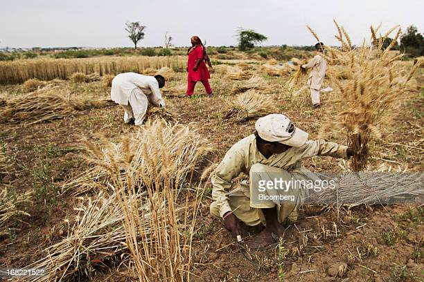 A farmer cuts wheat with a sickle during a crop harvest as other farmers collect bundles of wheat in the Chakwal district of Punjab province Pakistan...