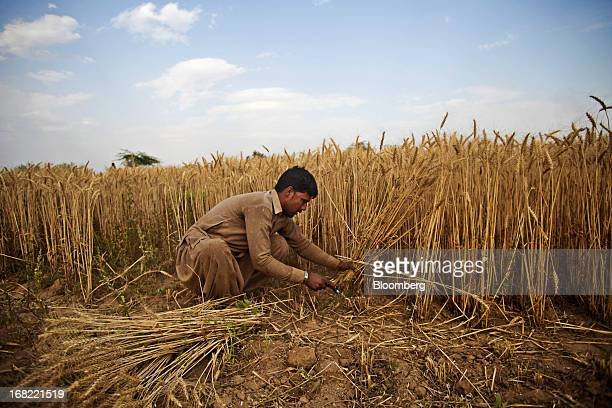 A farmer cuts wheat with a sickle during a crop harvest in the Chakwal district of Punjab province Pakistan on Saturday May 4 2013 Pakistan wheat...