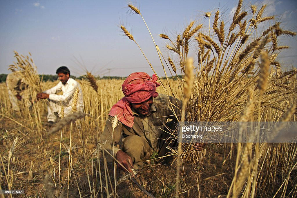 A farmer cuts wheat with a sickle during a crop harvest in the Fatehganj district of Punjab province, Pakistan, on Sunday, May 5, 2013. Pakistan wheat output to increase this year, the U.S Department of Agriculture's Foreign Agricultural Service said in a report posted today on its website on April 4. Photographer: Asad Zaidi/Bloomberg via Getty Images