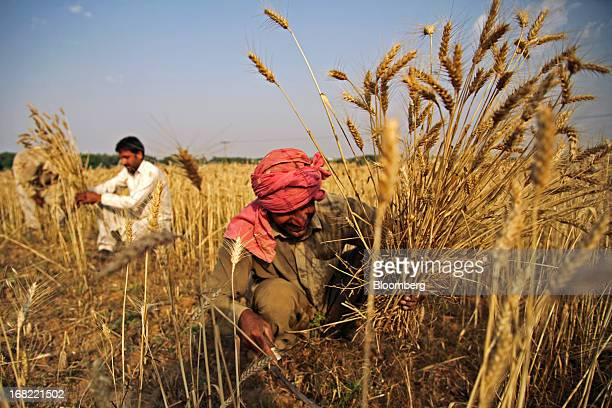 A farmer cuts wheat with a sickle during a crop harvest in the Fatehganj district of Punjab province Pakistan on Sunday May 5 2013 Pakistan wheat...
