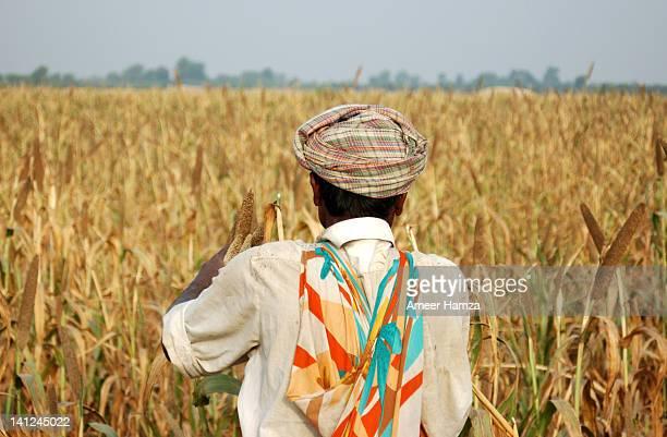 Farmer cutting bajra early morning