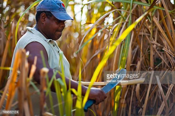 Farmer cutting sugarcane in a field