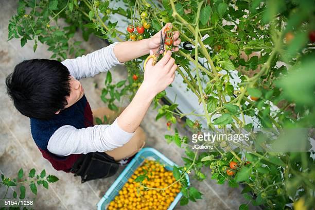Agriculteur des tomates de vigne