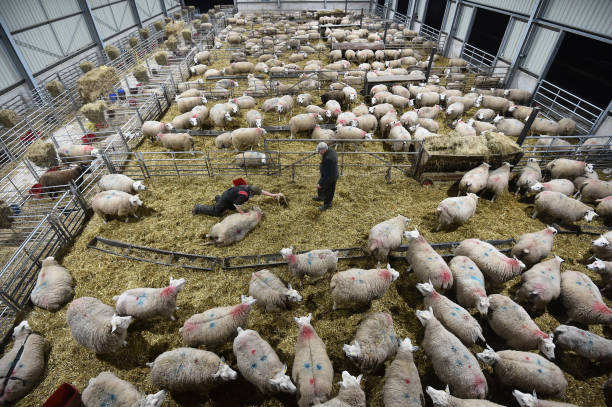 GBR: Cold Weather Delivers Boost To Lamb Prices