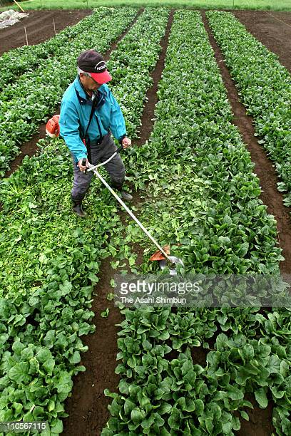 A farmer destroys spinach he produced with the grass cutter on March 22 2011 in Joso Ibaraki Japan The Japanese government ordered Fukushima Gunma...